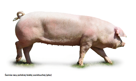 Świnia rasy polskiej białej zwisłouchej (pbz)