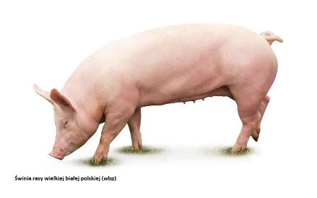 Świnia rasy wielkiej białej polskiej (wbp)