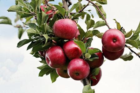 Jabłka józefowskie