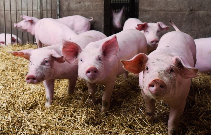 Rekompensata za nieutrzymywanie świń