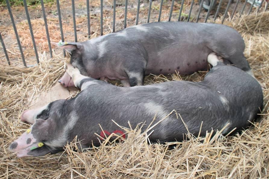 Wskazówki dotyczące uboju zwierząt gospodarskich kopytnych poza rzeźnią