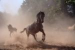 """II nagroda. Artur Biliński - """"Konie arabskie w Janowie Podlaskim"""""""