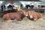Alternatywą dla trzody chlewnej jest hodowla bydła