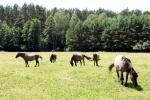 17. Ośrodek hodowli leśnego konika biłgorajskiego w Szklarni - 2- (fot. P.Wójcik)